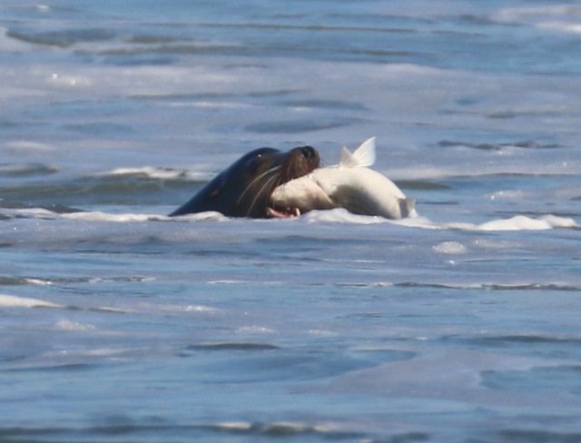 Sea lion with Striped Bass